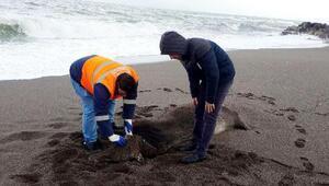 Gemiden atılan ithal 6 büyükbaş hayvan leşi sahile vurdu