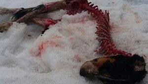 Aç kalan kurtlar saldırdıkları köpekleri yedi
