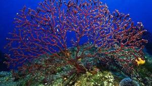 Ayvalıkta hedef kırmızı mercanları korumak