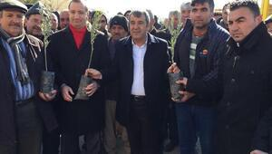 Belediyeden çiftçiye zeytin fidanı