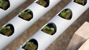 Kaya yünü içinde salatalık ve marul üretimi