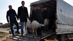 Ayvacıkta depremde hayvanı telef olanlara yenileri verildi