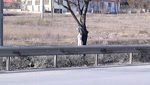 Çevre yolunda ağaca asılan cansız çıplak kadın manken şaşkınlığı