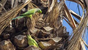Afrikalı yeşil papağanlar Avrupaya yayıldı