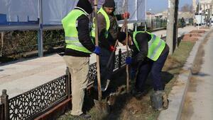 Edirne Belediyesi, formunu kaybetmiş ağaçlar yerine fidan dikti