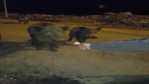 Aç kalıp Tunceli merkeze inen domuzları elleriyle beslediler