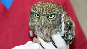 Yaralı yavru baykuş tedavi edildi