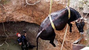 Kuyaya düşen 300 kiloluk inek, 5.5 saatte kurtarıldı