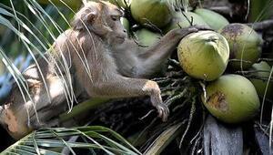 Tayland'ın çalışan maymunları: Makak