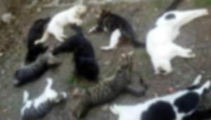 50 kedinin zehirlenmesiyle ilgili bir Rus vatandaşı gözaltında