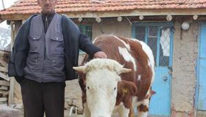 Sarıkız adlı inek çipli suni tohumla sayesinde gebe kaldı, kesimden kurtuldu