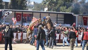 Bayraklıda develer 7nci kez güreşti