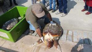 Kuşadasında bir günde iki deniz kaplumbağasıölüsü bulundu
