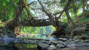 Ormanla birlikte yaşayan köprüler