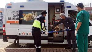Yaralı hayvanlara ambulansla müdahale