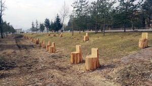Kesilen ağaçların kökleri parka koltuk oldu