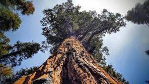 3200 yıllık ağaç fotoğraf karelerine sığmıyor (Kaliforniya)