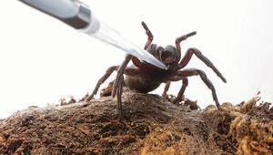 Örümcek zehriyle felç tedavisi