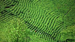 TEMA Vakfı'ndan organik çay üretimine destek