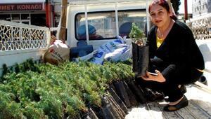 1500 fıstık çamı fidanı dağıttılar