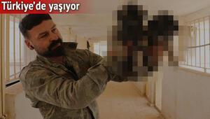 Arapların yeni gözdesi.. Bu ırk sadece Türkiyede yetişiyor