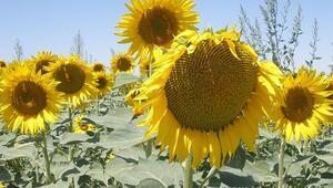 Yağlı tohumlar için 31 Mart uyarısı