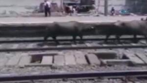 Tren raylara giren inekleri biçti