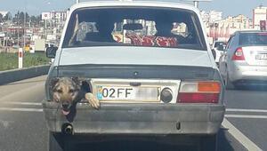 Görenler şaştı kaldı Stop lambası yerine köpek kafası