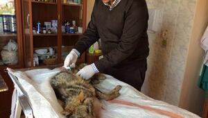 Yaralı halde bulunan çakal yavrusu tedavi altına alındı