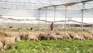 Seradaki marulları koyunlar yedi