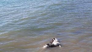 Sarköy Haberleri: Sıcak havayı görünce denize girdi 26