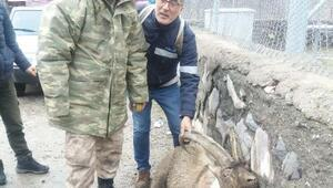 Merkez Haberleri: Tuncelide vurulan dağ keçisi kurtarılamadı