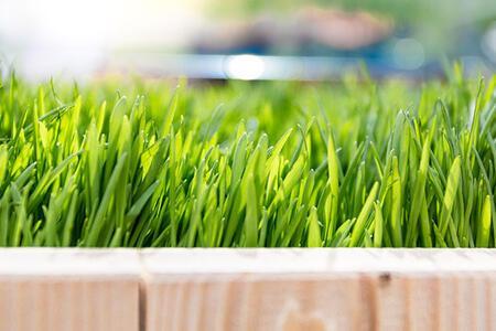 Buğday çimi nasıl yetiştirilir? Buğday çimi suyu nasıl yapılır?
