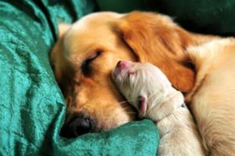 Köpeklerde Gebelik Ve Doğum Süreci Yerel Haberler
