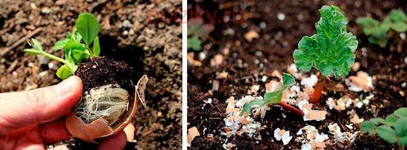 Yumurta kabuklarını atmak yerine toprağa gömdü... 15 gün sonra olanlara kendi bile inanamadı