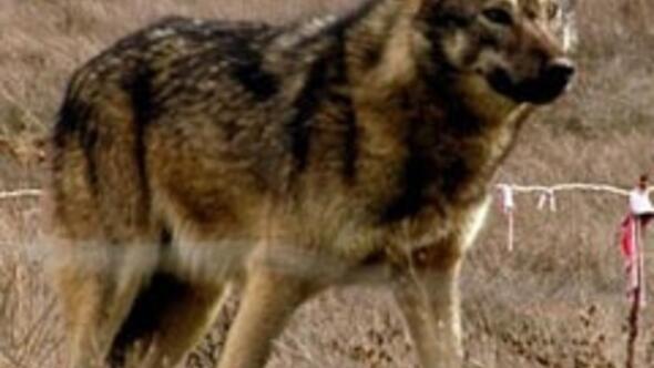Türk Kurt köpeği ırkı geliştirildi