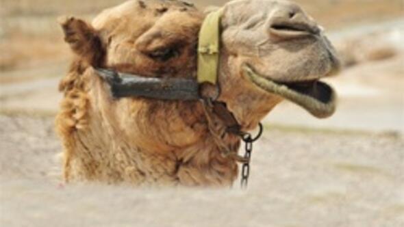 Umrede deve idrarı içen iki Türk hastanelik oldu