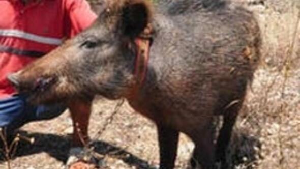 Muğlada domuz paniği