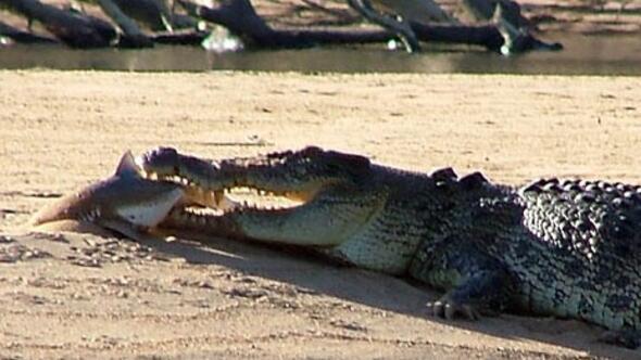 гребнистый крокодил или большая белая акула работать зарабатывать Предусмотрено