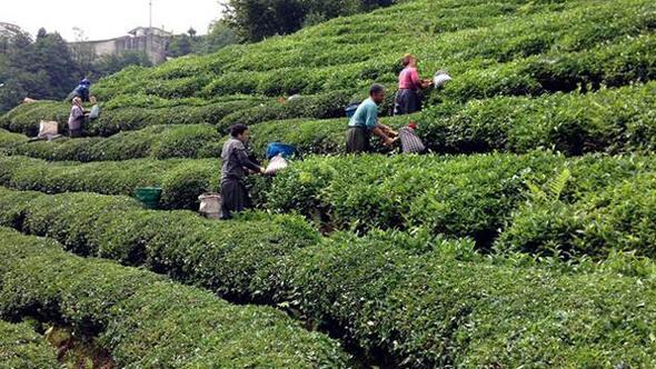 CHP'li Bekaroğlu: Çay bahçelerinin ocağına incir ağacı dikilecek