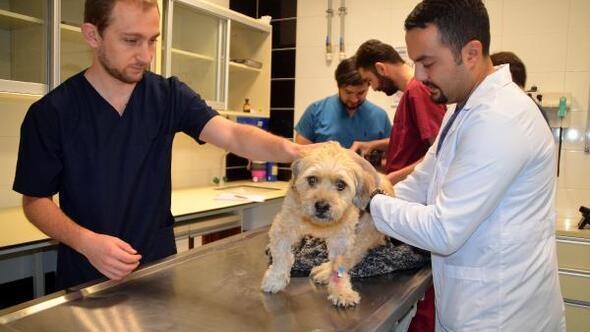 11 yaşındaki köpeğe bel fıtığı ameliyatı
