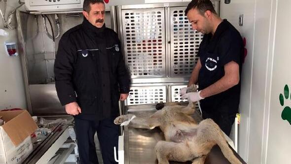 Edremit'te sokak köpekleri kısırlaştırıldı