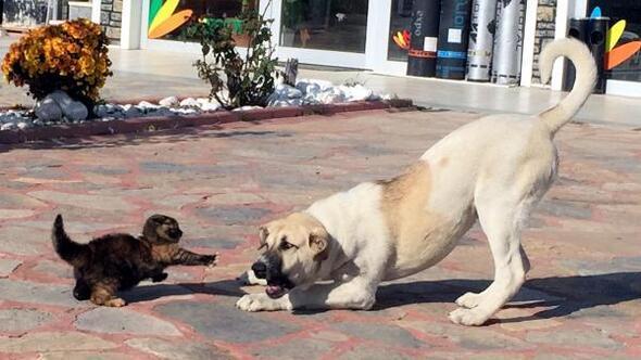 Yavru kedi, yiyeceği vermemek için köpeğe böyle karşı koydu
