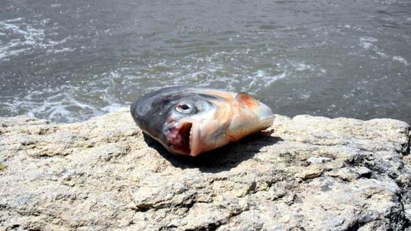 Kızılırmakta canavar alarmı 15 gün arayla ikinci kez yakalandı