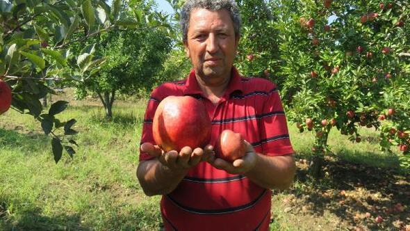 Bayramiç'te yetişen 1 kilo 105 gramlık elma şaşırttı ile ilgili görsel sonucu