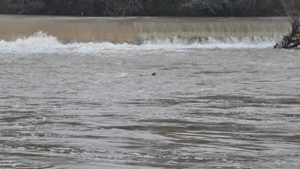 Bartın Irmağında 2 su samuru görüldü