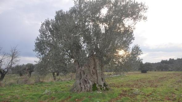 Bayramiçte, 600 yıllık zeytin ağacı tescillenmeyi bekliyor