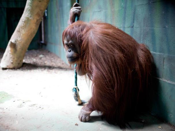Orangutan Sandra mahkeme tarafından 'insan' yerine konuldu