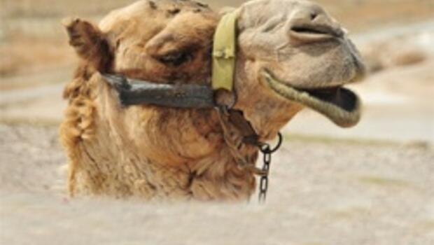 Umre'de deve idrarı içen iki Türk hastanelik oldu