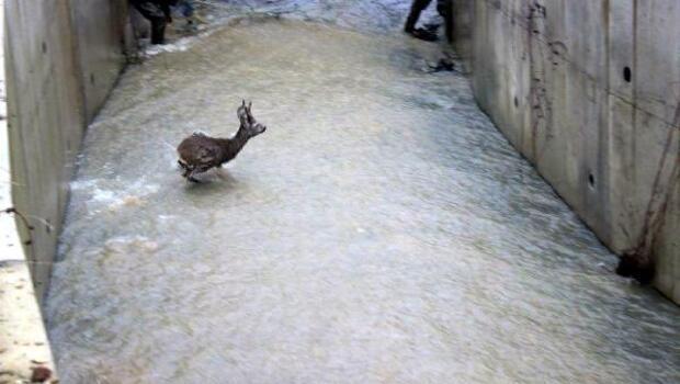 Su kanalına düşen karaca ağla kurtarılıp doğaya bırakıldı